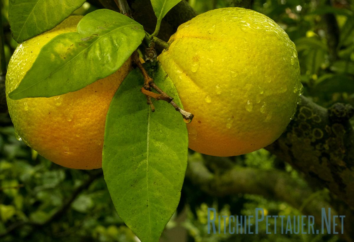 Ripening Oranges